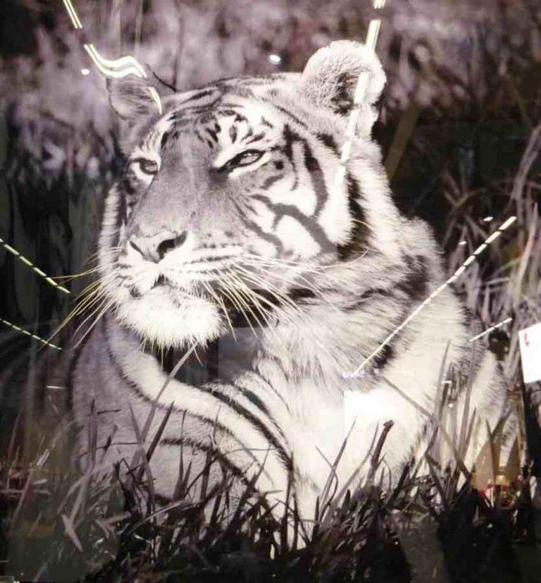 tableau tigre